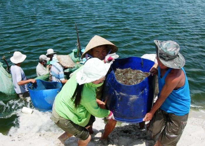 Thu hoạch tôm sú tại Bạc Liêu