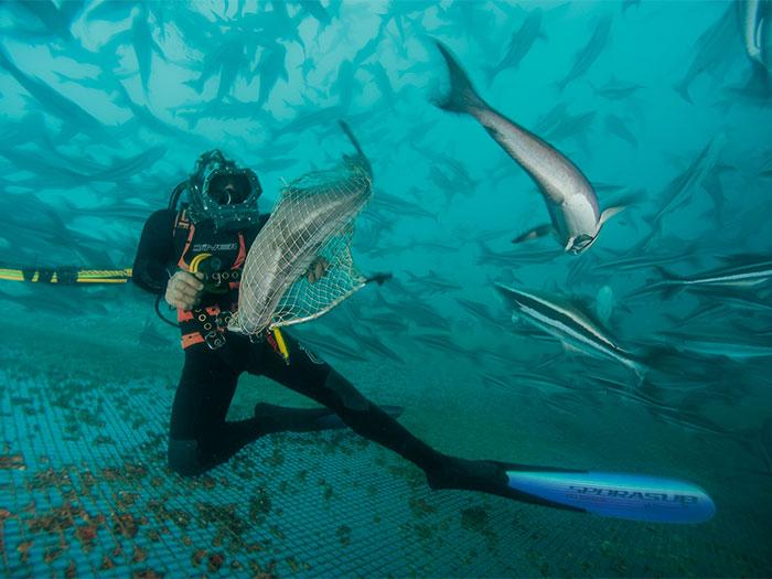 Robot rùa biển giám sát trại nuôi cá