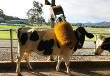 Robot chăn nuôi bò sữa ở Úc