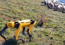 Robot chăn cừu trên đồi thông minh